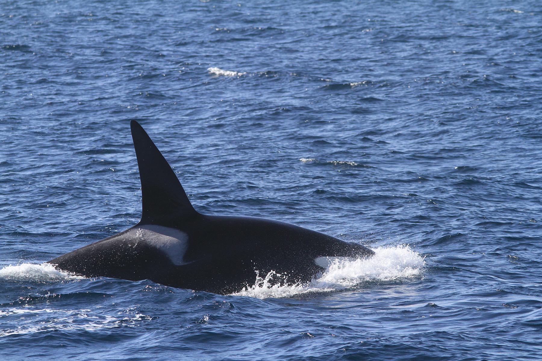 killer whales feast in santa barbara channel